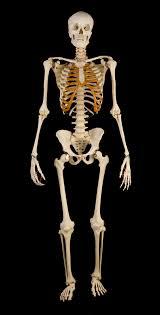 skeleton maly